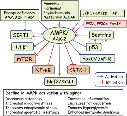 The Winnower | Activating AMPK for lifespan extension